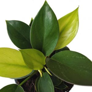 Philodendron Xiao Ping Guo Little Apple